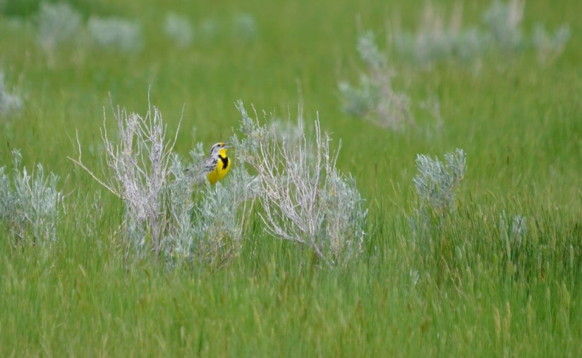 a western meadowlark, grasslands national park, saskatchewan