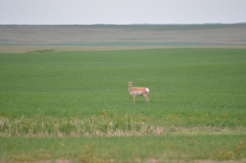 pronghorn antelope, val marie, saskatchewan