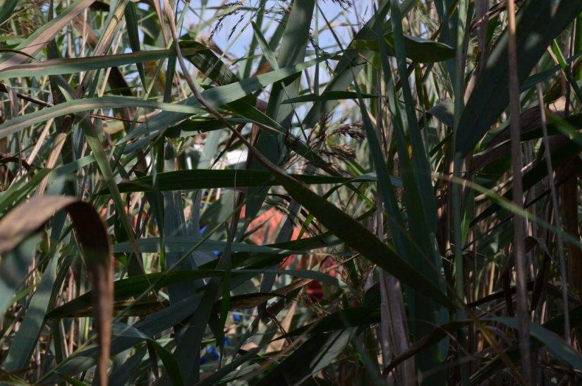 bob in the bulrushes, valli di comacchio, italy