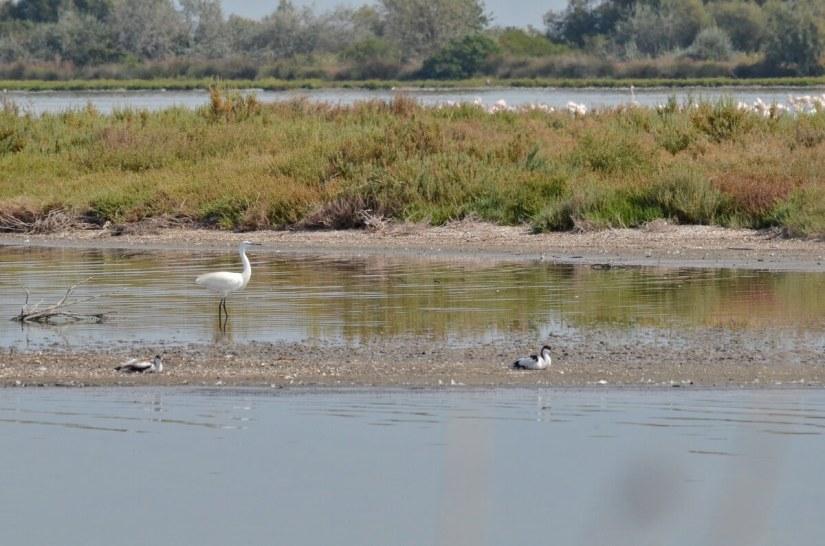 little egret and pied avocet, valli di comacchio, italy