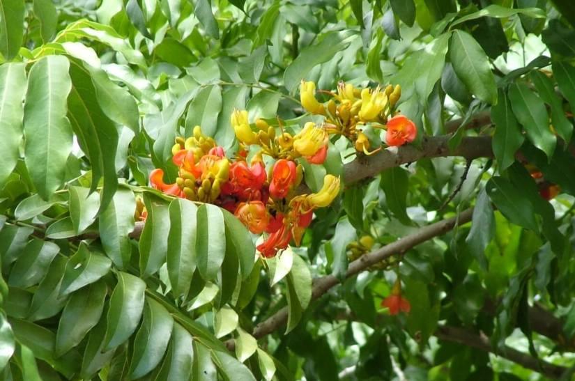flowers on an australian chestnut tree, oribi gorge, south africa
