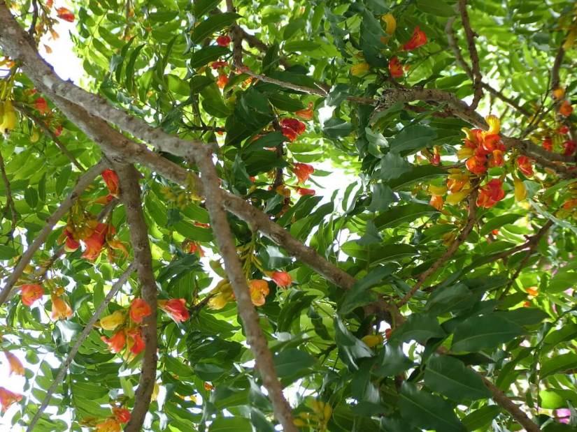 australian chestnut tree, oribi gorge, south africa