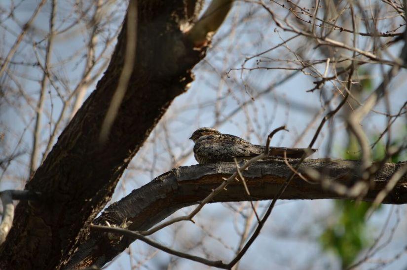 common nighthakw, val marie, saskatchewan, near Grasslands National Park