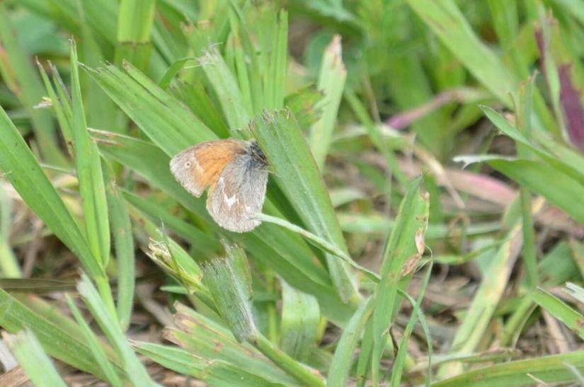 common ringlet butterfly, riverwalk trail, grasslands national park, saskatchewan