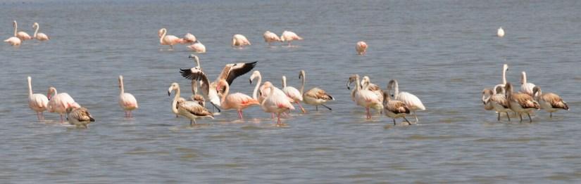 greater flamingos, valli di comacchio, italy