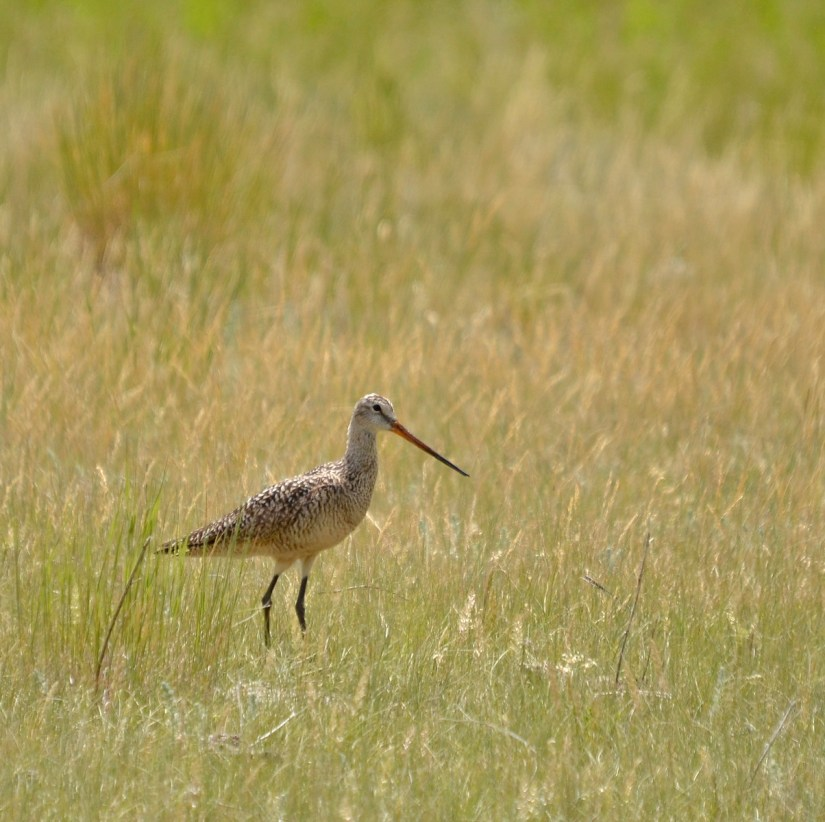 a marbled godwit, val marie, saskatchewan, near Grasslands National Park