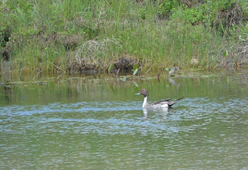 a northern pintail duck, val marie, saskatchewan