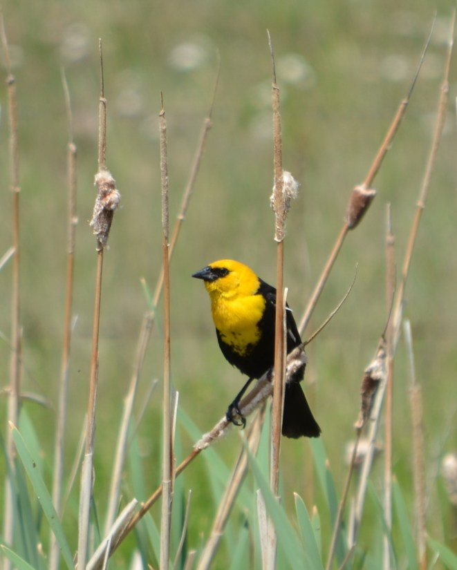 a yellow-headed blackbird, val marie, saskatchewan, near Grasslands National Park