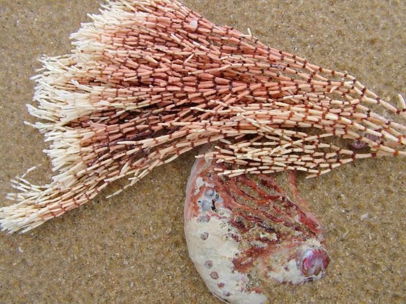 pink and white coralline algae, port elizabeth, south africa