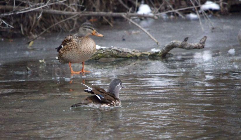 female mandarin duck, newmarket, ontario, canada