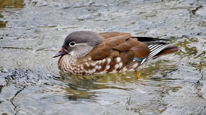 a female mandarin duck, newmarket, ontario, canada