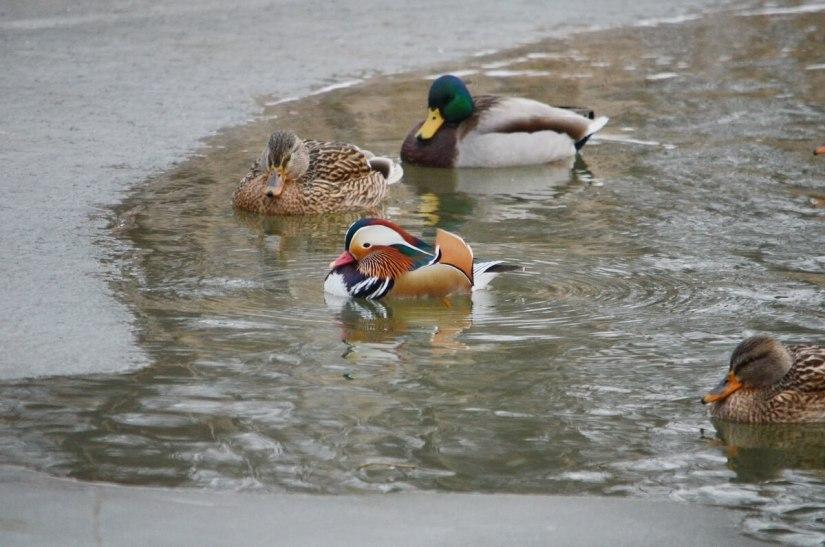 eddie the mandarin duck, newmarket, ontario, canada