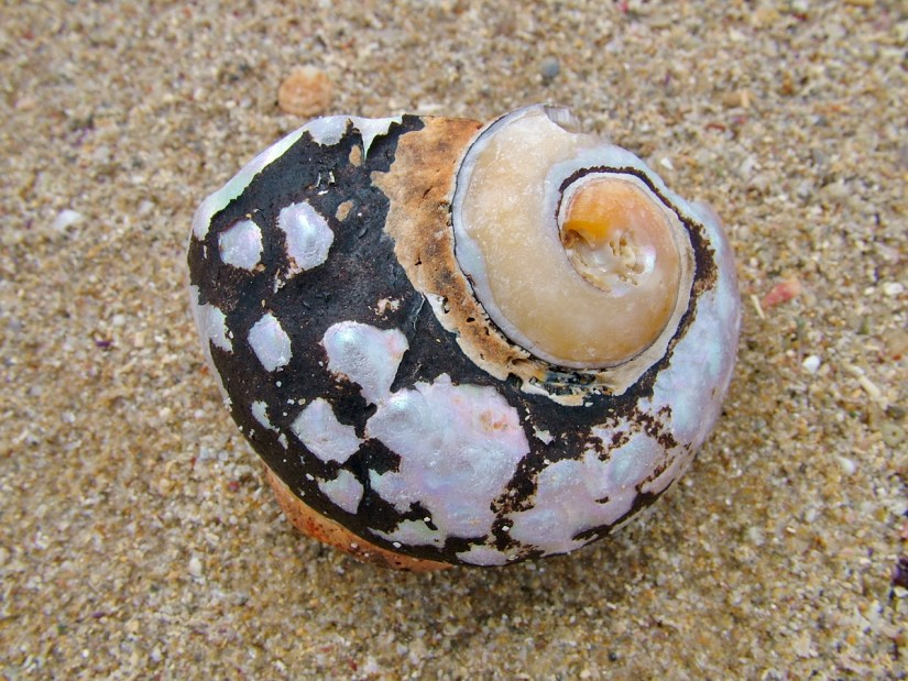 south african turban shell, on the beach, port elizabeth, south africa