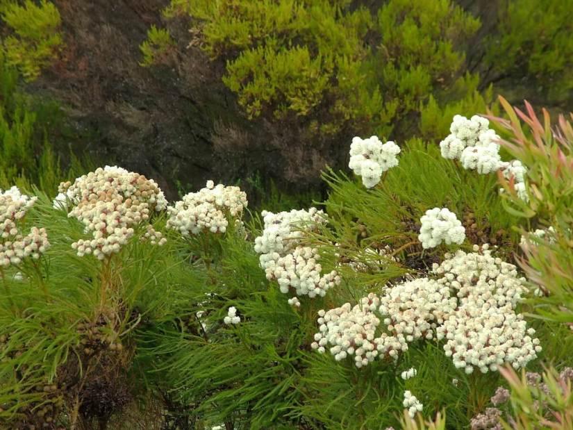 berzelia abratanoides, fynbos biome, garden route, south africa