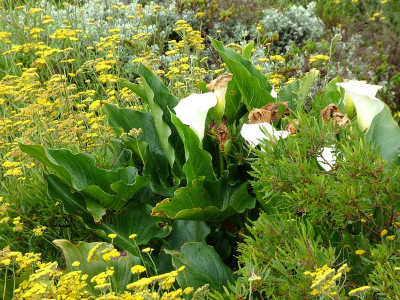 calla lilies of the fynbos biome, garden route, south africa
