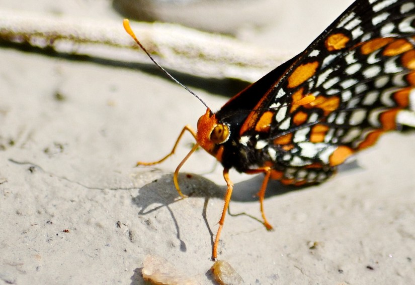 baltimore checkerspot butterfly, rouge national urban park, markham, ontario