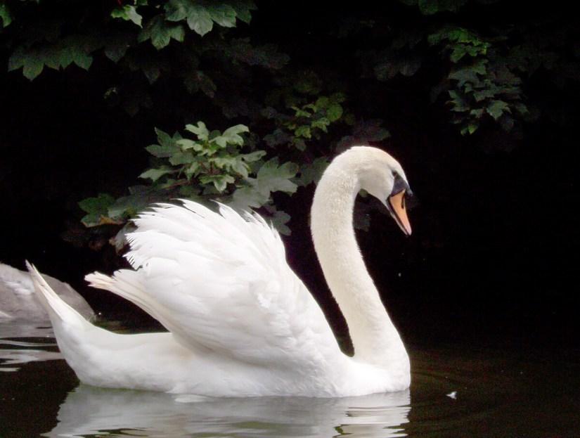 a mute swan, avon river, bath, england