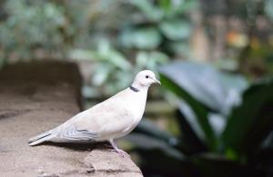 Il piccione viaggiatore