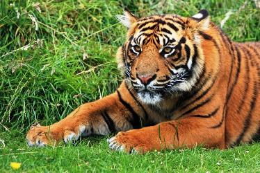 Io, la tigre