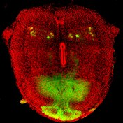 Monkey's Head © Laurence Dubreil-APEX-UMR703 PAnTher INRA Oniris