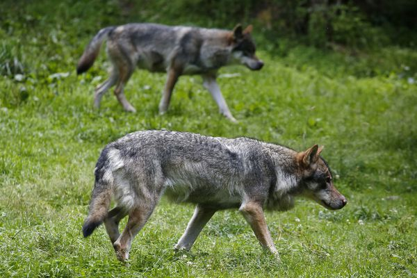 Le loup en passe d'être une espèce viable sur le territoire français