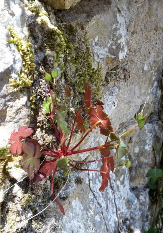 Small Herb Robert in wall