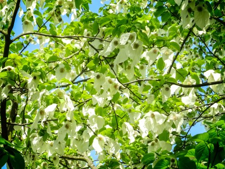 Photo of Handkerchief tree showing large white bracts that look like handkerchiefs