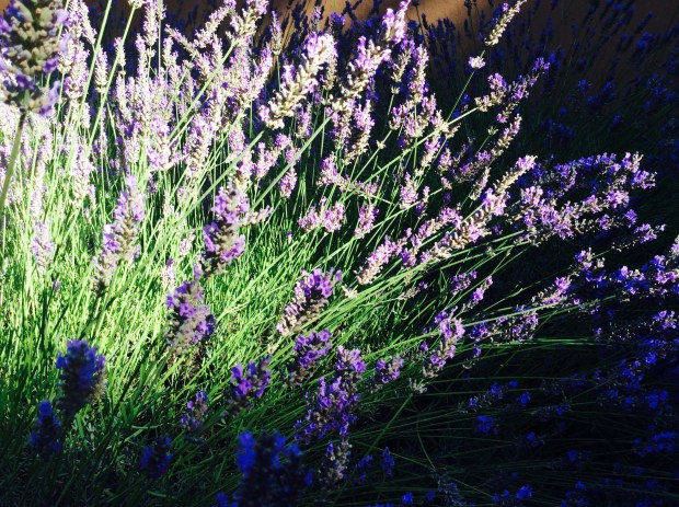 lavender flowers in cosmetics