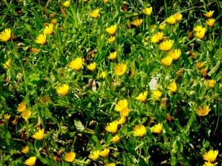yellow daisy weeds