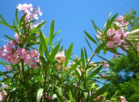 pink oleander sky
