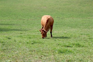 cow-in-grass