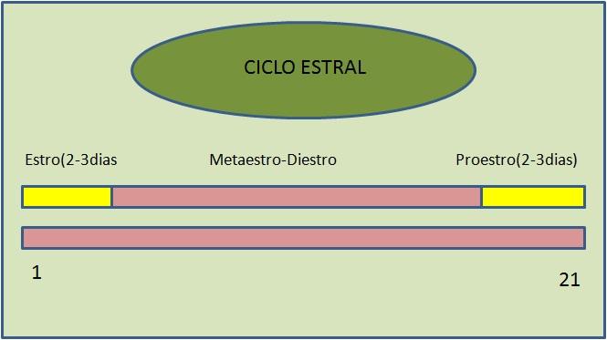 CICLO ESTRAL DE LA CERDA II: Signos de celo en la cerda (1/3)