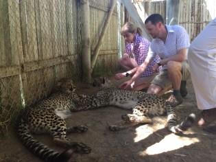 Cheetah petting!