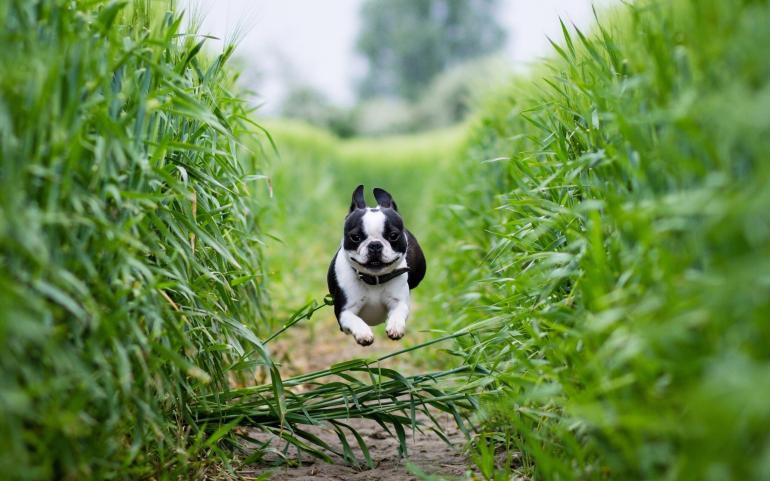 dog-running-fast