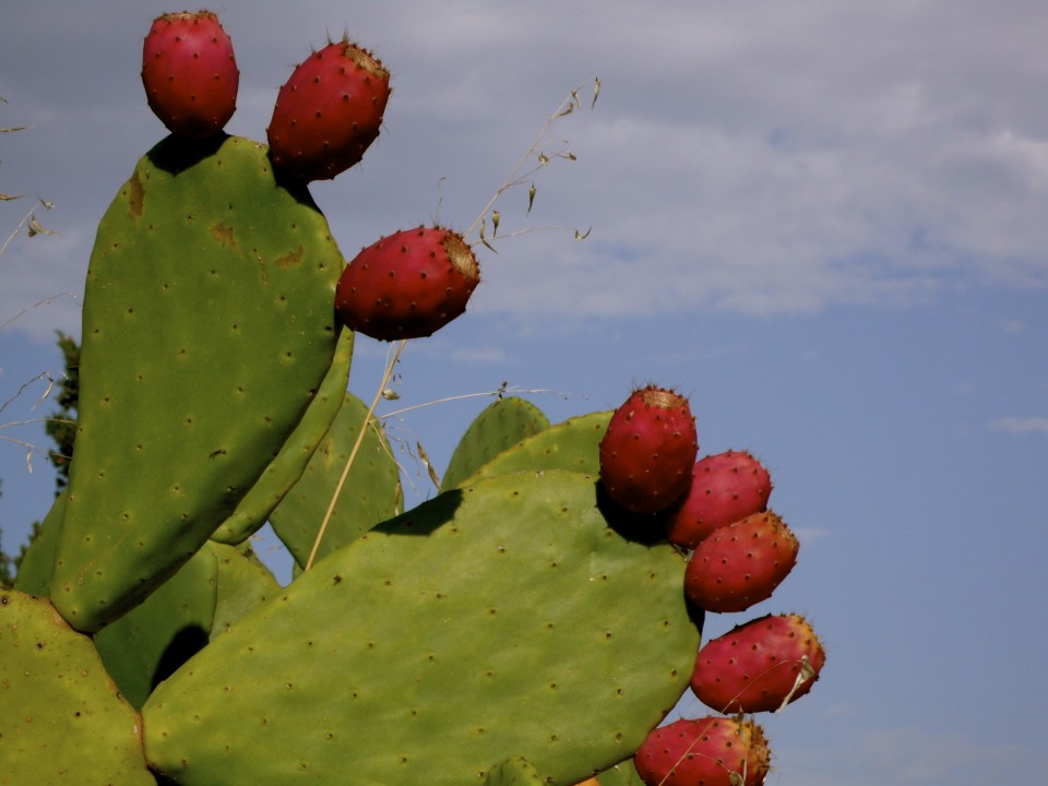 "Prickly Pear, brought over from the ""new world""."