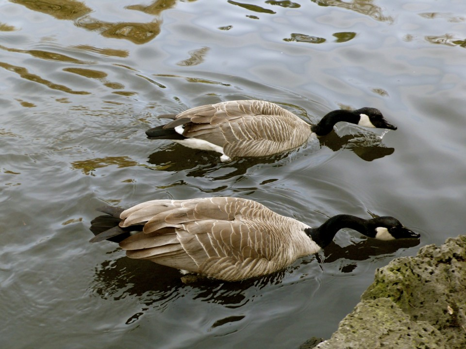 Canadian Geese II