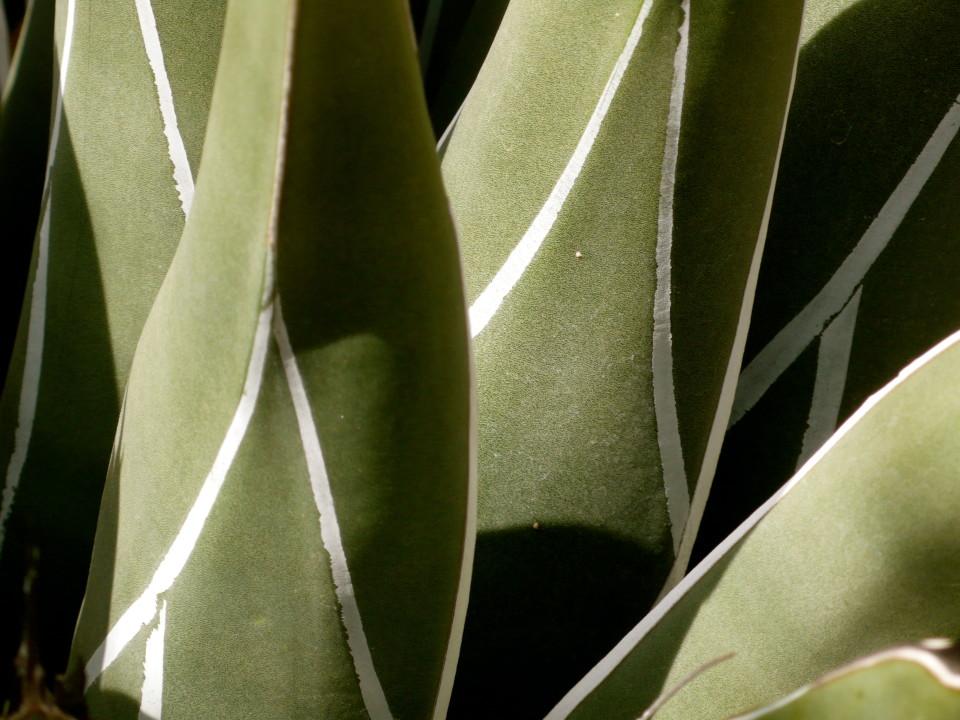White stripes on cactus