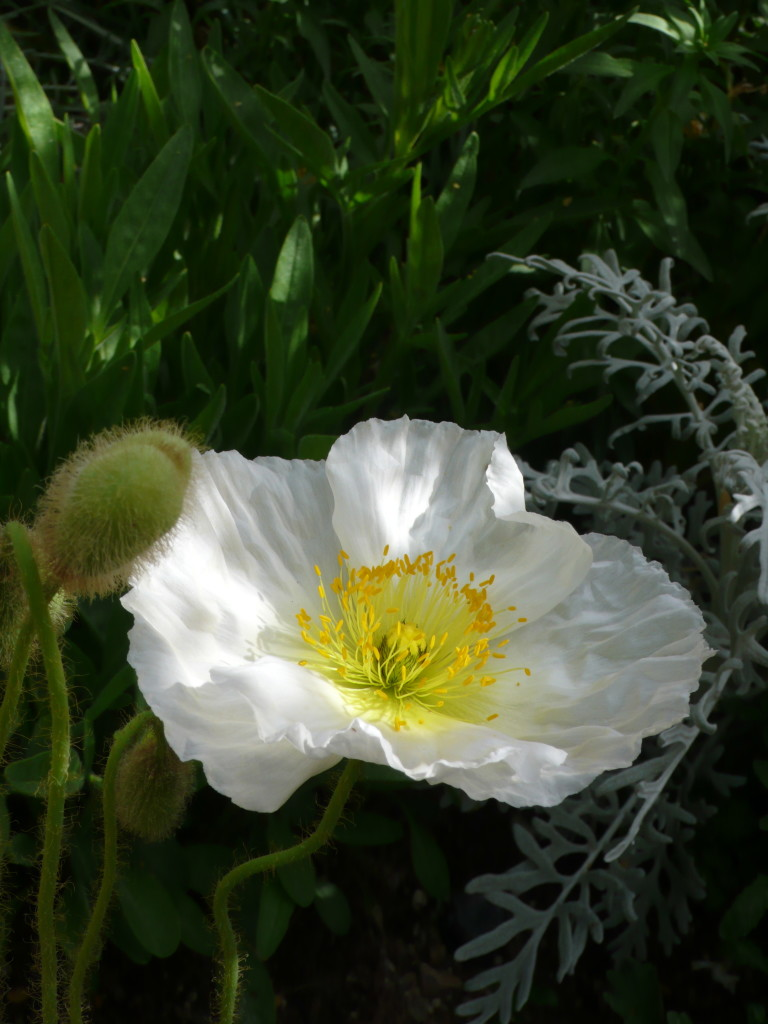fragile petals of a freshly opened yellow-centered white poppy