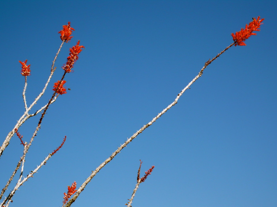 Ocotillo in blossom!  Jane chose this hike so I could see the many ocotillos in bloom!