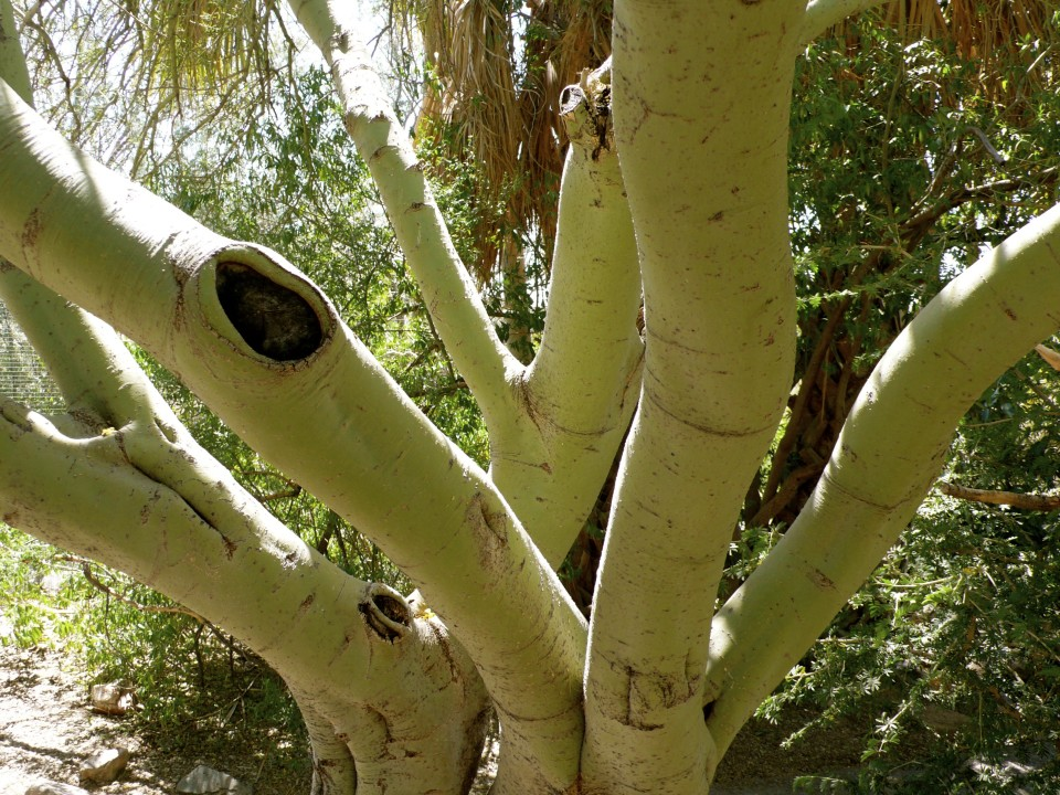 Green tree trunks replace the need for many leaves for photosynthesis