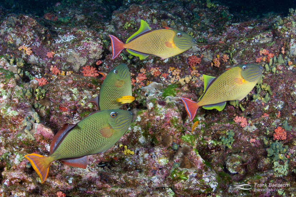 Crosshatch triggerfish schooling