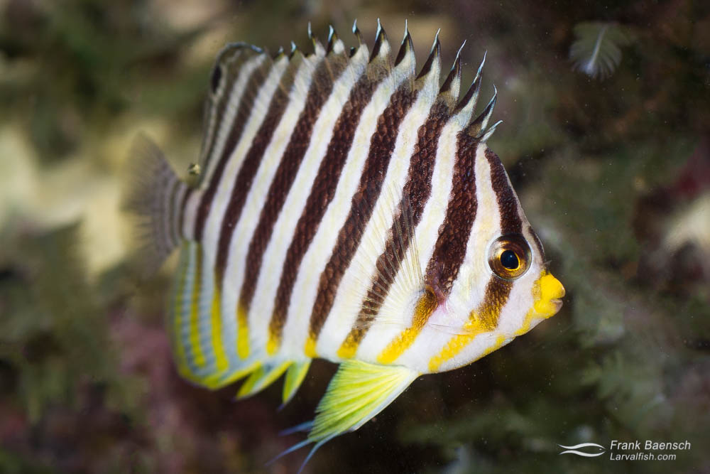 Paracentropyge multifasciata often proves to do very poorly in captivity
