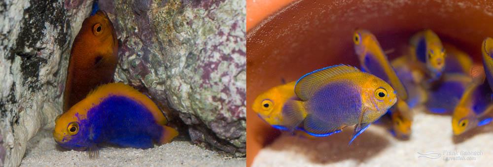 Resplendens fishers hybrid