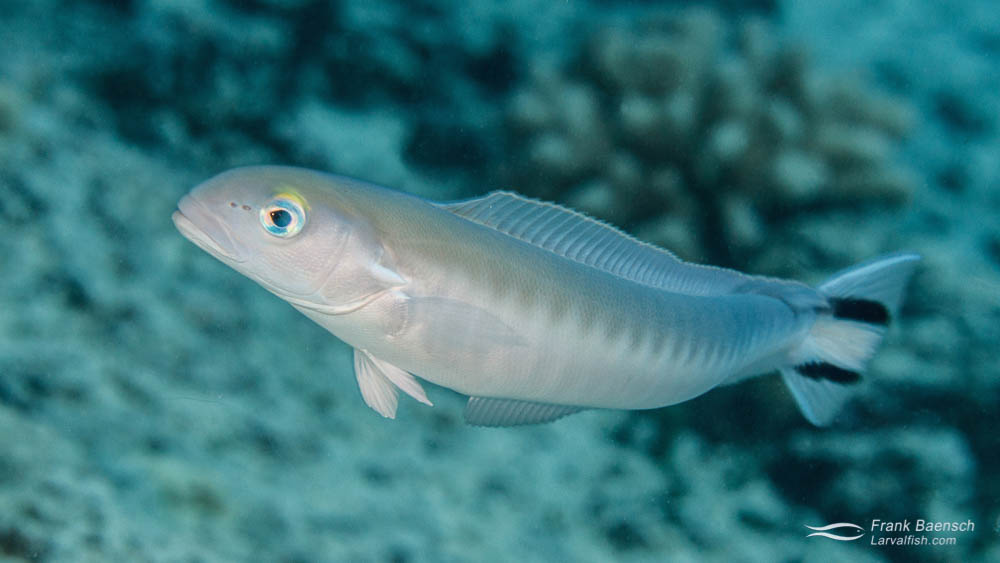Adult Flagtail Tilefish, (Malacanthus brevirostris) on a reef in Hawaii.