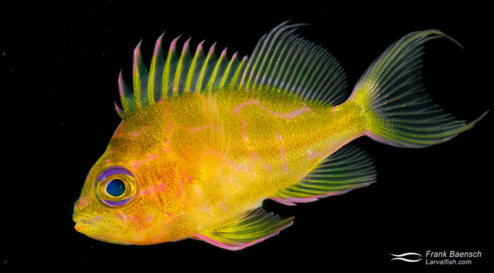 Juvenile Yellow Anthias (Odontanthias fuscipinnis) reared in the laboratory.