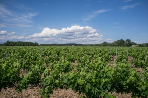 Vineyards near Lezignan-Le-Cebe in the Languedoc region of Southern France.