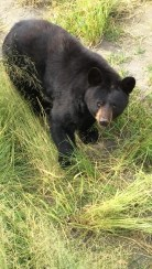 Bears at the Alaska Wildlife Conservation Center