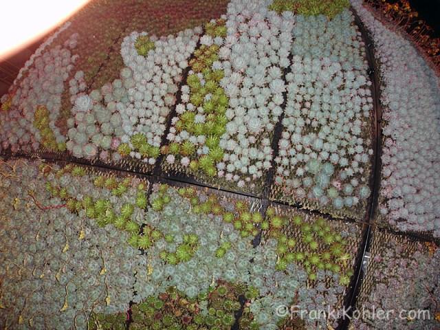 Franki Kohler, Succulent Globe2