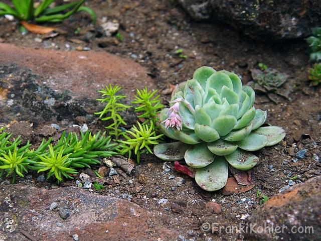 Franki Kohler, Succulent steps