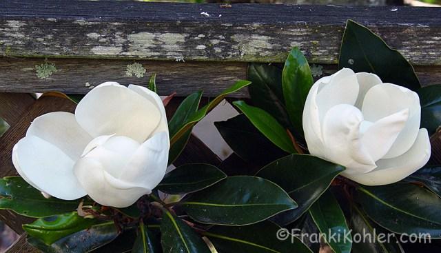 Franki Kohler, Magnolia blossoms